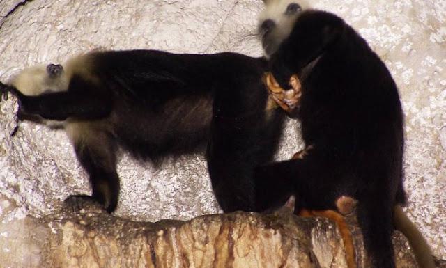 O parto aconteceu dentro de uma comunidade de primatas, onde uma fêmea de cinco anos de idade entrou em trabalho de parto pela primeira vez. Uma outra macaca interveio ao ver o início do nascimento. Ela já havia dado à luz a cinco macacos anteriormente, incluindo uma vez mais cedo no mesmo dia.