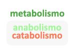 Las fases que conforman el metabolismo