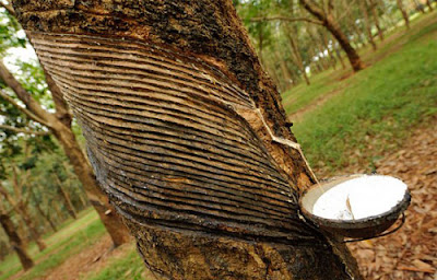 Cara Budidaya Pohon Karet