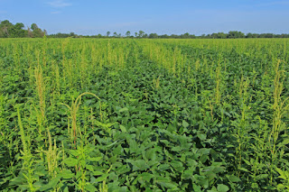 Palmer amaranth in Georgia field
