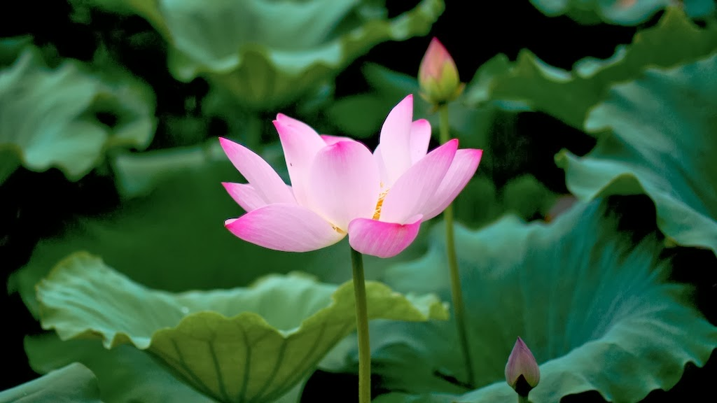 How To Grow Water Lotus