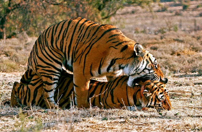 Tiger Fortpflanzung
