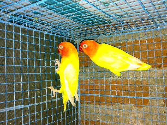 Daftar Harga Lovebird Terbaru 2015