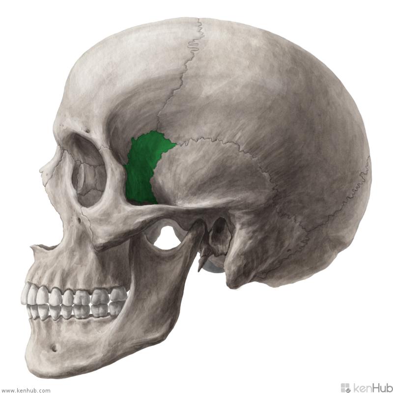 Большое крыло клиновидной кости на боковой поверхности свода черепа
