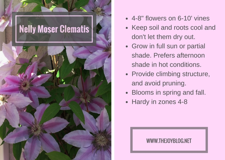 Nelly Moser Clematis Growing Guide // www.thejoyblog.net