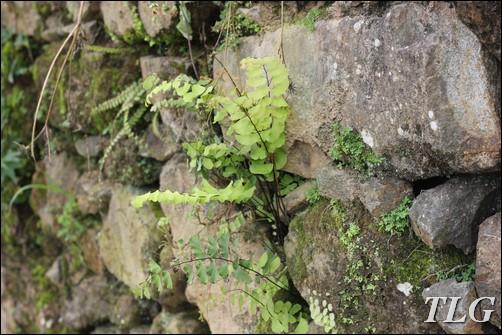 lên núi câu cua, câu cua, Tam đảo, cỏ cảnh, cỏ sân vườn, dương xỉ, tóc thần, tóc thần vệ nữ