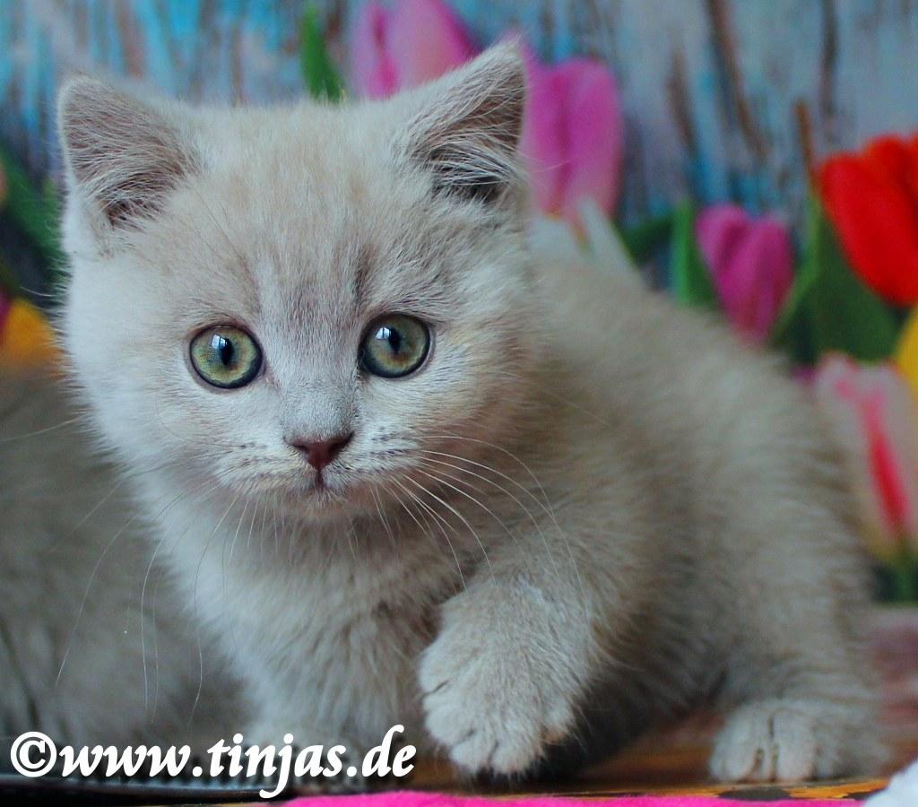 Britisch Kurzhaar Katzenbaby lilac tinjas 2017 05 10 1