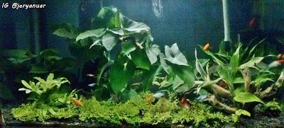 Aquascape dengan menggunakan tumbuhan darat
