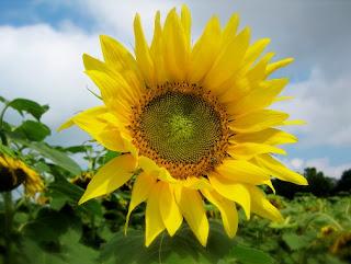 Gambar Bunga Matahari Cantik 1