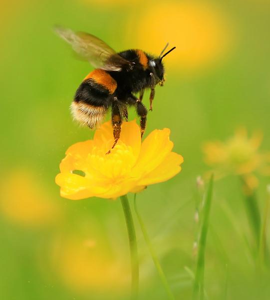 Buff-tailed bumblebee courtesy of Jon Hawkins, Surrey Hills Photography