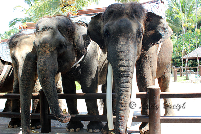 rencontre avec des elephants