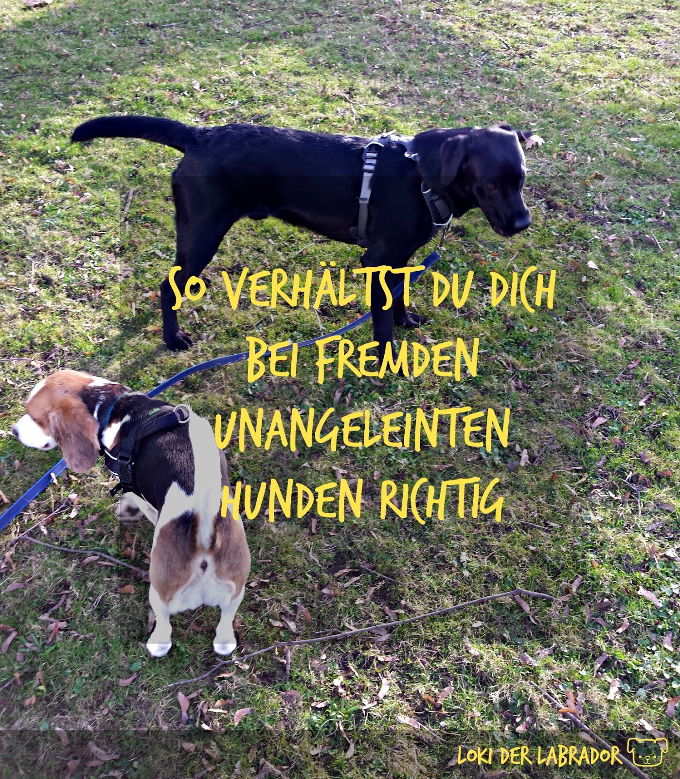 Labrador und Beagle auf einer Wiese