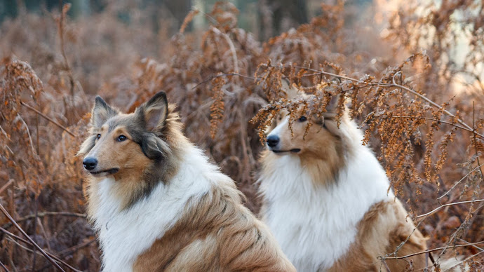 Wallpaper: Two beautiful Collie dogs