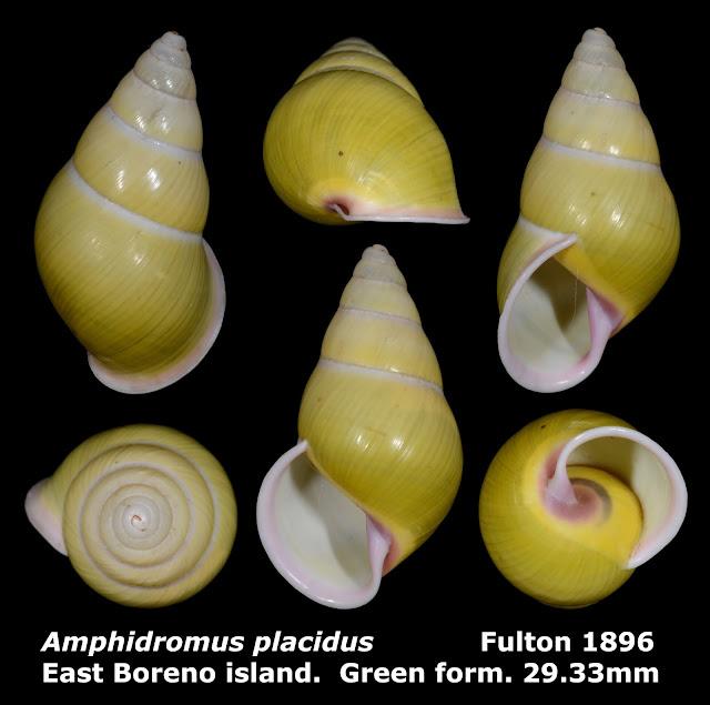 Amphidromus placidus 29.33mm (Green)