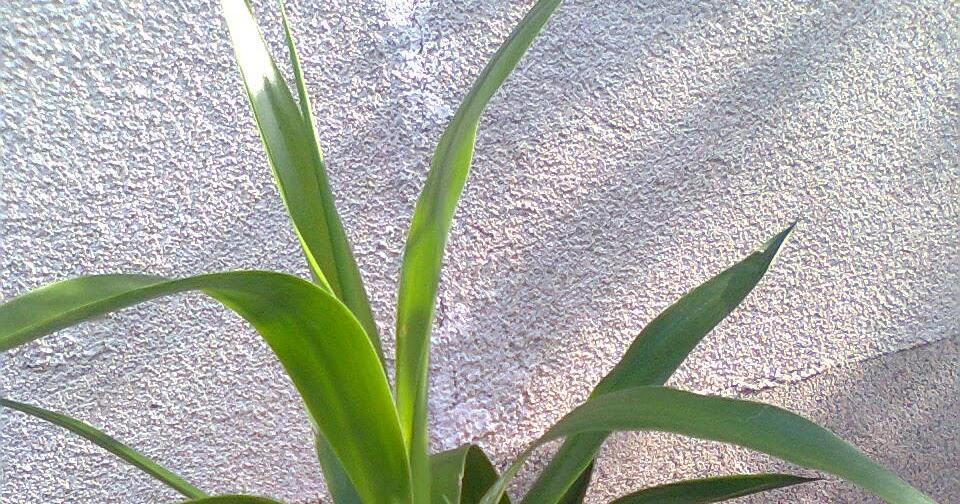 Adriana hobby yucca plante decorative Plante decorative
