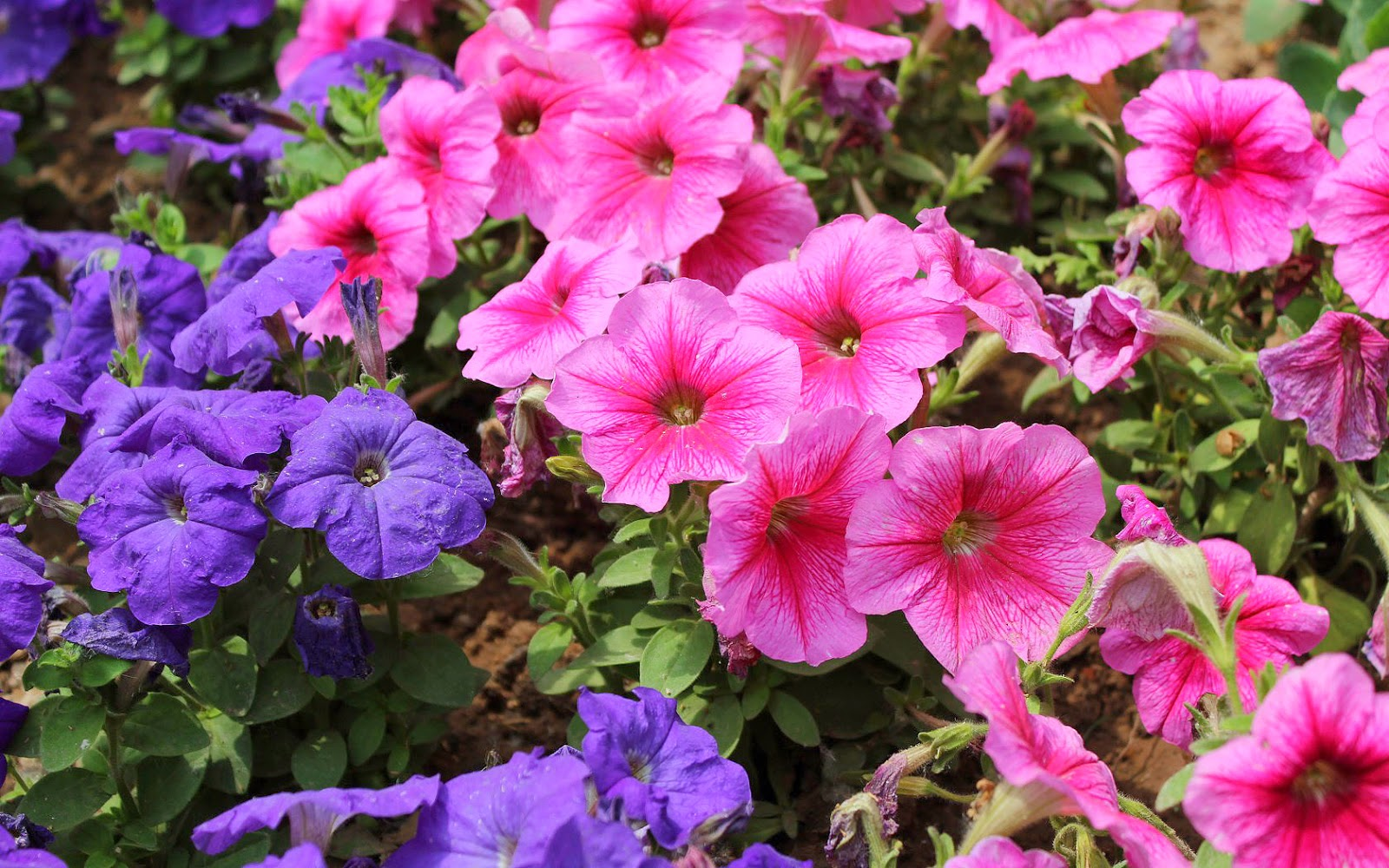 roze bloemen en paarse bloemen