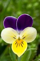 Çiçek taç yaprakları farklı renklerde olan hercai menekşe