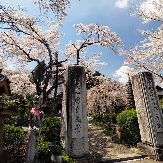 萬休院 桜