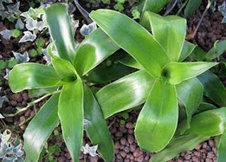 Растение золотой ус - Лосьон против морщин