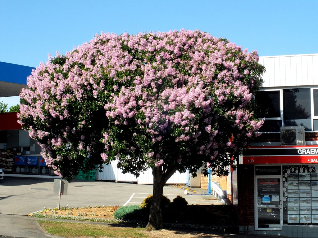 Friends of drouins trees cape chestnut cape chestnut mightylinksfo