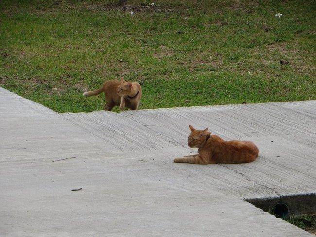 Два рыжих кота