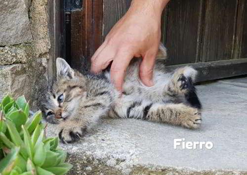 gatito en adopcion