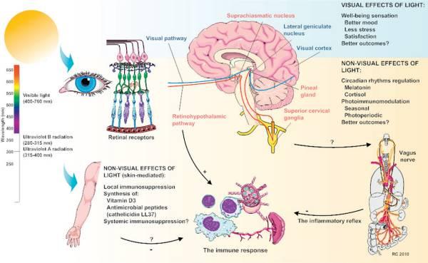 Уроканиновая кислота: от солнца и кожи до мозга.