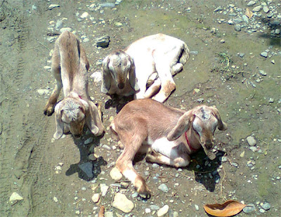 Photograph of three cute Lambs