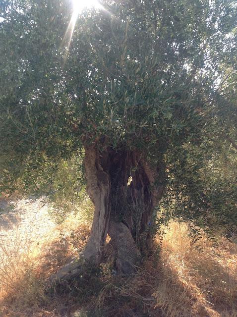 http:fantasis-olivenhaine-ostkreta.blogspot.com
