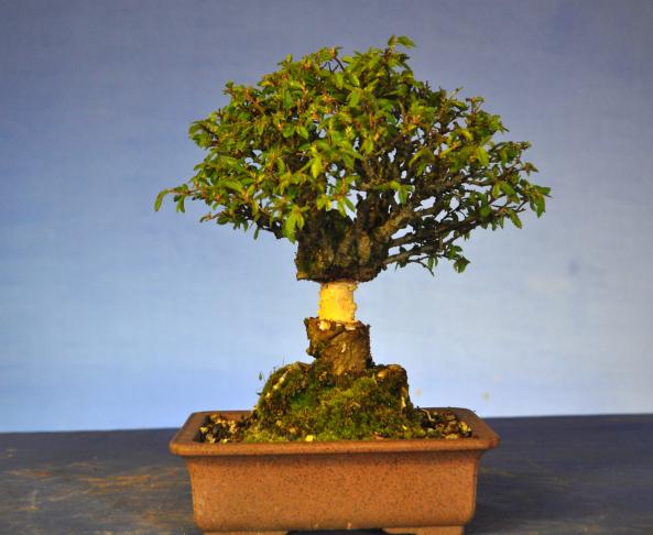 air layering technique rh about bonsai blogspot com