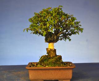 bonsai air layering