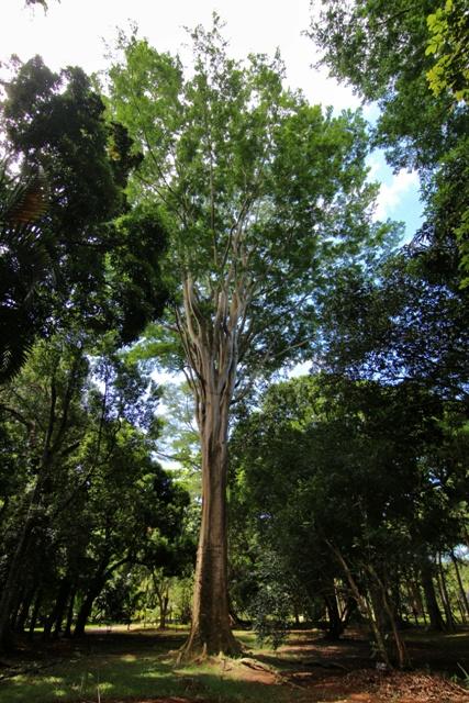 Arboles gigantes en el Jardín Pamplemousses