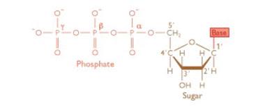 Struktur Nukleotida