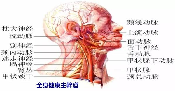 脖子,是身體最致命的部位,和呼吸一樣重要!(全身健康主幹道)