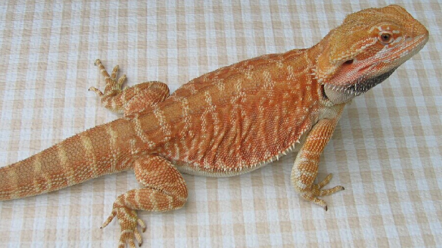 Colors Morphs & Genetics South Texas Dragons