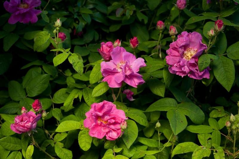Rosa gallica ´Oficinalis´