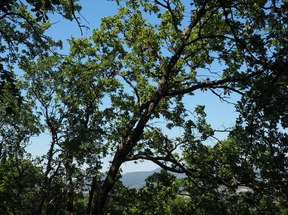 oak trees.jpeg