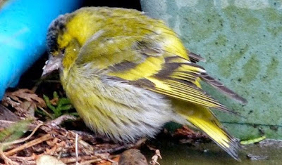 Cara Dan Tips Ampuh Mengobati Gangguan Pernafasan Pada Burung Kenari Paling Lengkap