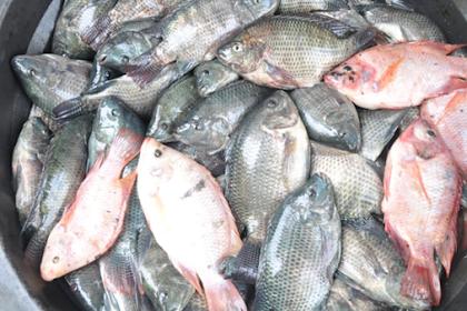 Budidaya Ikan Nila Di Kolam Beton, Terpal, Ember, Tanah, Dll Terbaru 2019