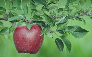 The Amazing Benefits Of Leaves Apples For Health - Healthy T1ps