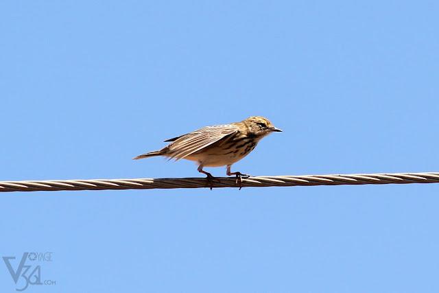 pipit sp. (15-21cm) - Chikkaballapura