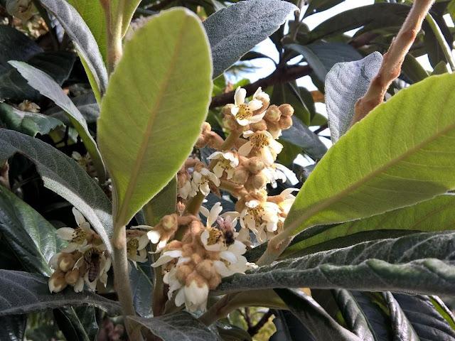 Fiori Eriobotrya japonica