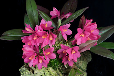 Dendrobium laevifolium care and culture
