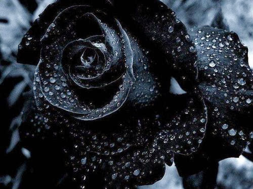 All 4u HD Wallpaper Free Download : Black Rose Wallpapers
