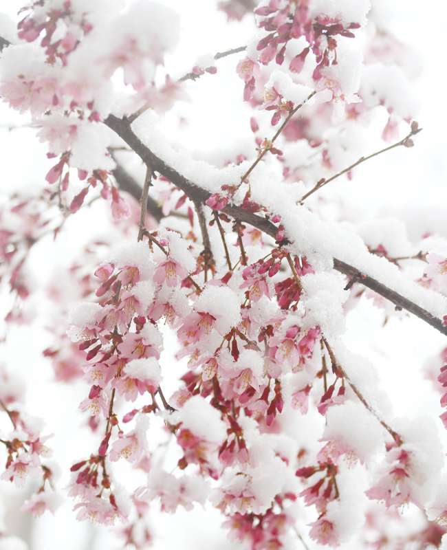 Cherry Blossoms, Spring in NYC, Cherry Blossoms in Snow, April Snow, Spring Snow, Sometimes It Snows In April