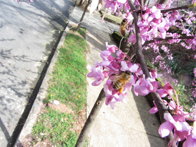 Acer palmatum, Asian Wisteria, bee, bee cozy, beekeeping, Bradford Pear, Carolina Cherry Laurel, Carpenter Bees, climate, Flowering Dogwood, holly, redbud tree,