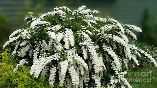 http://fineartamerica.com/featured/bridal-wreath-spirea-white-flowers-florist-barbara-griffin.html