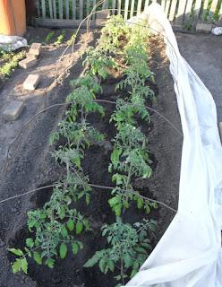 5 июня, помидоры после высадки понемногу адаптируются после холодов