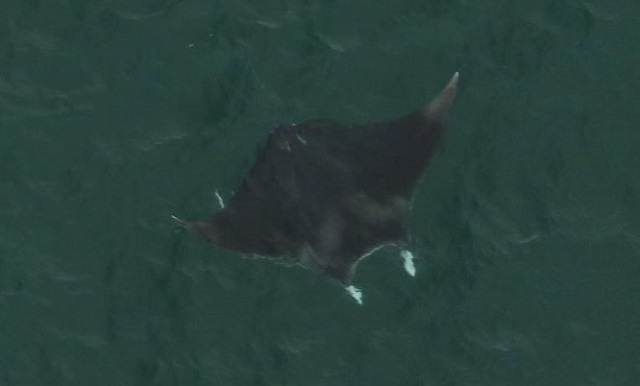 A Giant Manta Ray was photographed near the surface of the water by the Florida Fish and Wildlife Commission