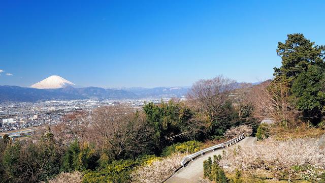 二宮の吾妻山公園で菜の花と富士山の景色を楽しみ、中井からやまゆりラインで曽我梅林へ。小田原フラワーガーデン~辻村植物公園~小田原城と小田原の梅の名所を巡るサイクリングコース